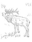 Elk Coloring Book Page
